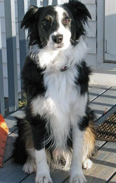 Zappa the Border Collie Mix Pictures 217006
