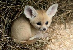 Cutest Phoenix Fox Cub Curled Up