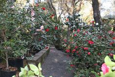 camellia gardens | The Ehrhart Camellia Gardens