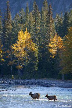 Stock Photos, Elk, Bow River, Banff National Park, Alberta, Canada, Stock Photos
