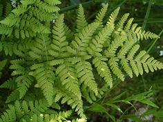 Dryopteris carthusiana - Narrow Buckler Fern - probably evergreen here some winters.