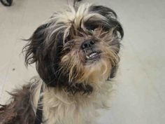 SAFE❤️❤️ 10/13/16 Brooklyn center JAPAN – A1092634 UNKNOWN GENDER, BLACK / WHITE, SHIH TZU MIX, 5 yrs STRAY – STRAY WAIT, NO HOLD Reason STRAY Intake condition EXAM REQ Intake Date 10/06/2016, From NY 11212, DueOut Date10/09/2016