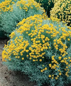 choose this taller wider one (gray) this one at Devil Mtn Nursery Santolina chamaecyparissus Not a frequent bloomer but evergreen in dk green or silver grey, super drought and heat toelrant and extremely deer resistant Low mounds. Care: prune spent flowers