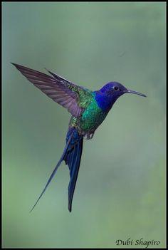 swallow-tailed hummingbird (Eupetomena macroura)