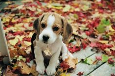 Beagles love the fall time...especially chewing on leaves!