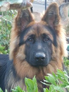 Wicked Training Your German Shepherd Dog Ideas. Mind Blowing Training Your German Shepherd Dog Ideas. Long Coat German Shepherd, German Shepherd Training, German Shepherd Puppies, German Shepherds, Aussie Puppies, Dogs And Puppies, Doggies, Beautiful Dogs, Animals Beautiful