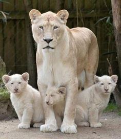 White lion and cubs - big cats Big Cats, Cats And Kittens, Cute Cats, Kitty Cats, Beautiful Cats, Animals Beautiful, Beautiful Family, Beautiful Creatures, Gato Grande