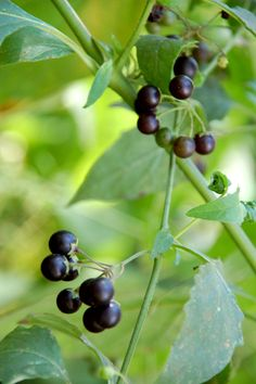 Western Black Nightshade - Wild tomatoes, delicious. Only eat when berries are black.
