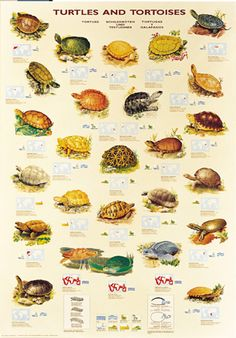 Turtles and Tortoises Forest Wildlife Poster