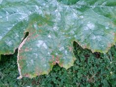 Diseased zucchini leaf with brown spots - anthracnose?