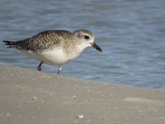 Bird Photos, Birding Sites, Bird Information: NONBREEDING BLACK-BELLIED PLOVER, BUNCHE BEACH, FO...