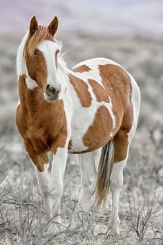 Wild Mustang...Photo by Mark Terrell Wild Horses of Nevada Photography