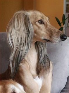 Gorgeous dog!! Saluki, also known as the Royal Dog of Egypt and Persian Greyhound is one of the oldest known breeds of domesticated dog.