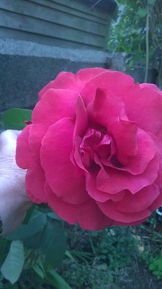 I love this rose