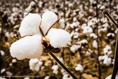 Kim Hunt...Picture Mississippi King Cotton, Mississippi Delta, Cotton Fields, Dandelion, Flowers, Plants, Dandelions, Plant, Taraxacum Officinale