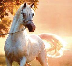 Horse / arabians in the blue grass