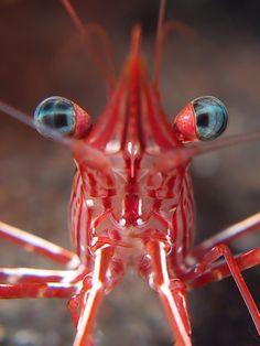 Rhynchocinetes serratus hinge back shrimp