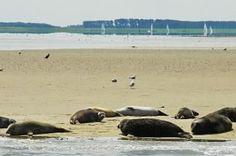 Zeehonden in de Oosterschelde