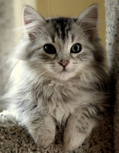 Cute Siberian Kittens Photos