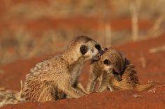 meerkat | Meerkat Live Cam at Tswalu