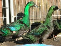 """The Cayuga takes its name from Lake Cayuga, New York, which makes it one of the few duck breeds with an United States origin. The Cayuga is a quiet duck that is very hardy and is known primarily for its brilliant """"beetle"""" green plumage. The hens, which weigh 5 to 6 pounds, lay a light blue or gray egg and the males grow to between 6 and 7 pounds. Ducklings have black feet"""