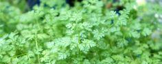 Erva Cerefólio (Anthriscus cerefolium) - Esta erva pode confundir muito as pessoas, a carinha dela é parecida com a salsinha, porém ela não é do mesmo gênero, é apenas da mesma família (Apiaceae). Ela é originária do Cáucaso, mas alguns de seus cultivares já foram aclimatados ao nosso clima e solo.    Características botânicas  É ... - http://www.ecoadubo.blog.br/ecoblog/2015/06/08/erva-cerefolio-anthriscus-cerefolium/