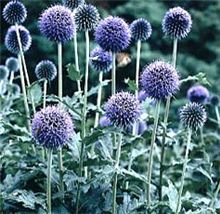 Echinops ritro Globe Thistle - Globe thistle is a large tall plant, with golf ball-sized steel blue flower heads atop strands of rigid stems with deepl Cottage Garden Plan, Azul Indigo, Blue Garden, Tall Plants, Garden Borders, Garden Theme, From The Ground Up, Flower Photos, Garden Planning