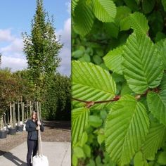 Buy Hornbeam Trees (Carpinus Betulus) - Various sizes and forms of Hornbeam Tree, including the Upright Hornbeam Tree (Carpinus betulus fastigiata) and Japanese Hornbeam (Carpinus japonica). Hornbeam trees are available to buy online or from our tree nurs Hedging Plants, Garden Plants, Shrubs, Garden Projects, Garden Ideas, Trees Online, Fast Growing Trees, Feather Tree