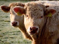 Twin #cows in #rural Holland (Sellingen). #Moo