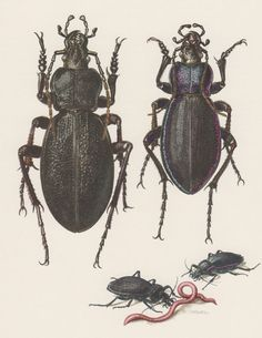 1957 Ground Beetles Antique Print Offset Lithograph by Craftissimo, €13.95