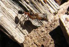 muurahainen kantamassa saalistaan