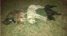 Dogs poisoned in Witbank by cruel scumbags Witbank, South Africa – 4 out of 5 of our very much beloved fury kids were poisoned with two-step late in the evening of 23/09/2014 in Reyno Ridge, Witbank.  The Labrador was Oliver, the Sharpei was Gia, the Bullterrior was Ballas and the little Jack Russell was Rocky, the Sausage x Basset who has so far survived is Stompie.