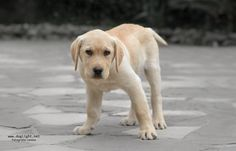 More Labrador Puppy Another photo of Jazz, this is the name of this cutie