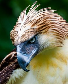 One of the largest and most powerful eagles in the world: the Philippine Eagle -. - One of the largest and most powerful eagles in the world: the Philippine Eagle – # - Pretty Birds, Love Birds, Beautiful Birds, Animals Beautiful, The Eagles, Exotic Birds, Colorful Birds, Aigle Animal, Funny Bird