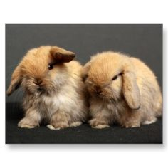 Cute Holland Lop Kits Post Card by truluvrabbitry