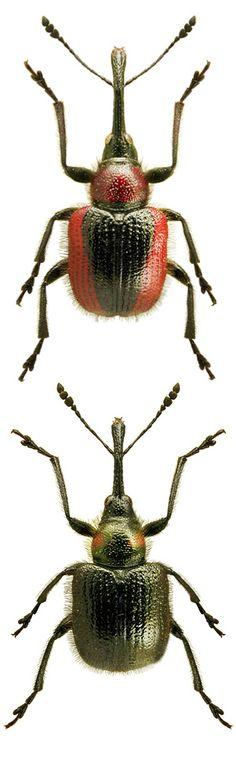Mecorhis ungarica