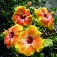 Photo of Hidden Valley Hibiscus - Hemet, CA, United States. Exotic Hibiscus 'Acapulco Gold' from Hidden Valley Hibiscus
