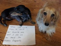 A new step in sibling rivalry: Our male black mini-dachshund isn't always thoughtful of his sister, a blond long-haired mini