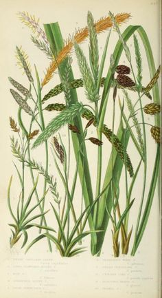 Carex. The British grasses and sedges London,Society for promoting Christian knowledge,[1858?]. Biodiversitylibrary. Biodivlibrary. BHL. Biodiversity Heritage Library