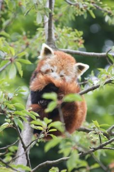 Red Panda - LK's favorite animal!!