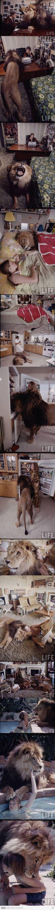 Pet Lion. sweet. lol