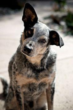 Pet Photography, Australian Cattle Dog