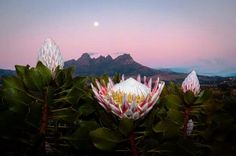 Helderberg ...  Somerset- Wes Most Beautiful Beaches, Beautiful Places, Eternal Sunshine, Beaches In The World, Flowering Trees, Somerset, Homeland, South Africa, Countries