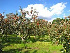 when and how to prune apple trees