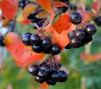 Aronia Shrub / Black Chokeberry - the healthiest fruit on the planet happens to be a U.S. native. Apparently it has the highest amount of antioxidants of any fruit yet measured. The intense concentration of flavonoids and anthocyanins in the Aronia berry helps the body fight off viruses, allergies, and carcinogens. In addition to antioxidants, the berries have been proven to aid with diabetes, cardiovascular health, and the circulatory system.
