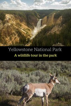 Yellowstone National Park - a scenic and wildlife tour through the various parts of the park that wildlife is found typically. Check out the post here http://travelphotodiscovery.com/wildlife-tour-at-yellowstone-national-park/