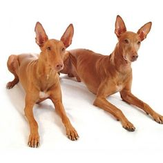I would spend 2500 on one of these puppies Animals And Pets, Cute Animals, Pharaoh Hound, Egyptian Pharaohs, Dogs And Puppies, Doggies, My Friend, Friends, I Love Dogs