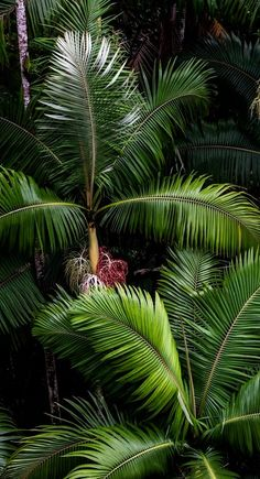 Shared by ♔ℒυχυяу Find images and videos about photography, nature and green on We Heart It - the app to get lost in what you love. Tropical Art, Tropical Vibes, Tropical Paradise, Tropical Garden, Tropical Plants, Tropical Beaches, Paradis Tropical, Palm Trees, Nature Photography