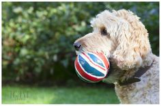 Dog with her favourite ball.