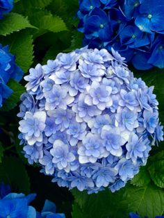 Hydrangeas Hortensia Hydrangea, Hydrangea Garden, Hydrangea Flower, Very Beautiful Flowers, Beautiful Flower Arrangements, Pretty Flowers, Blossom Garden, Blossom Flower, Hosta Gardens